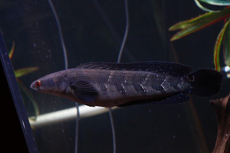 Channa Melanoptera