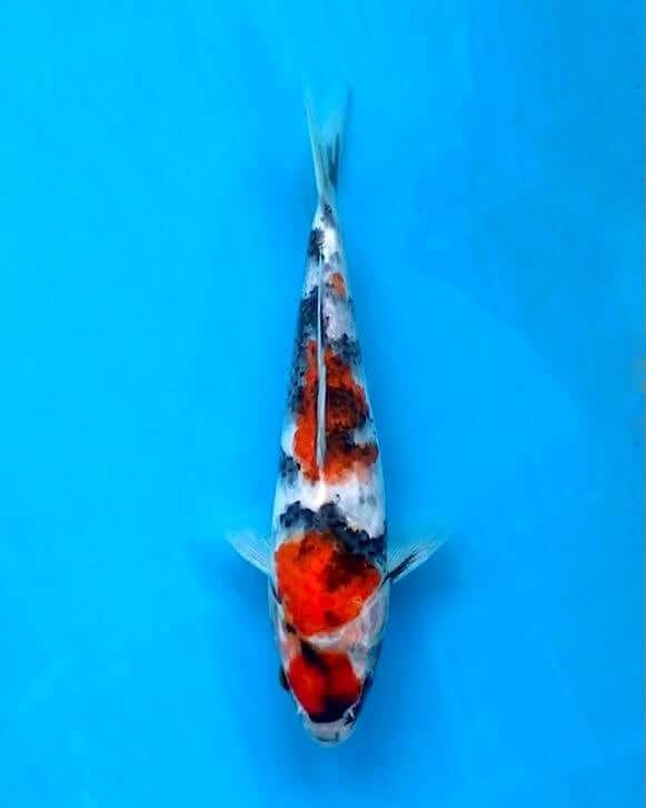 Ikan Koi Showa