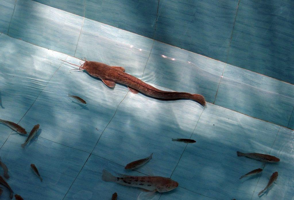 Ikan Lele Kolam Beton
