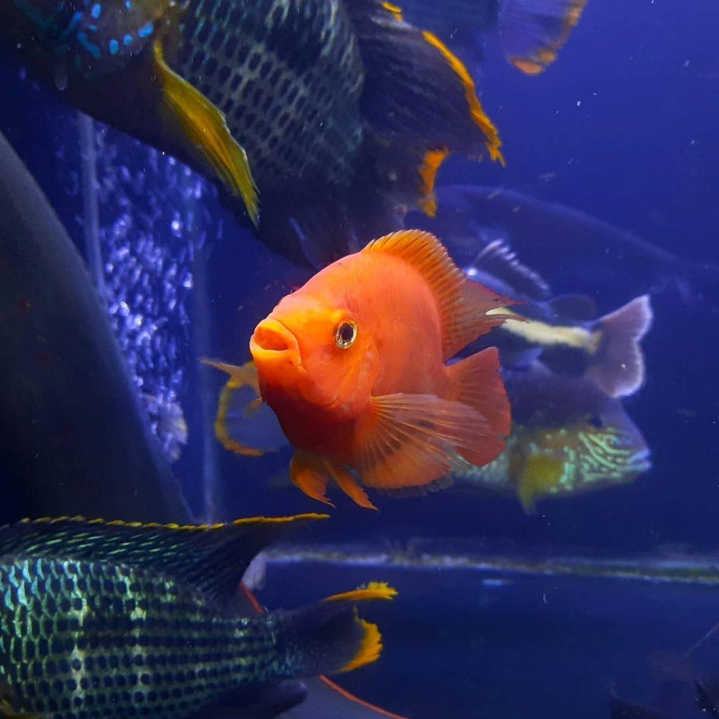Ikan Parrot Merah