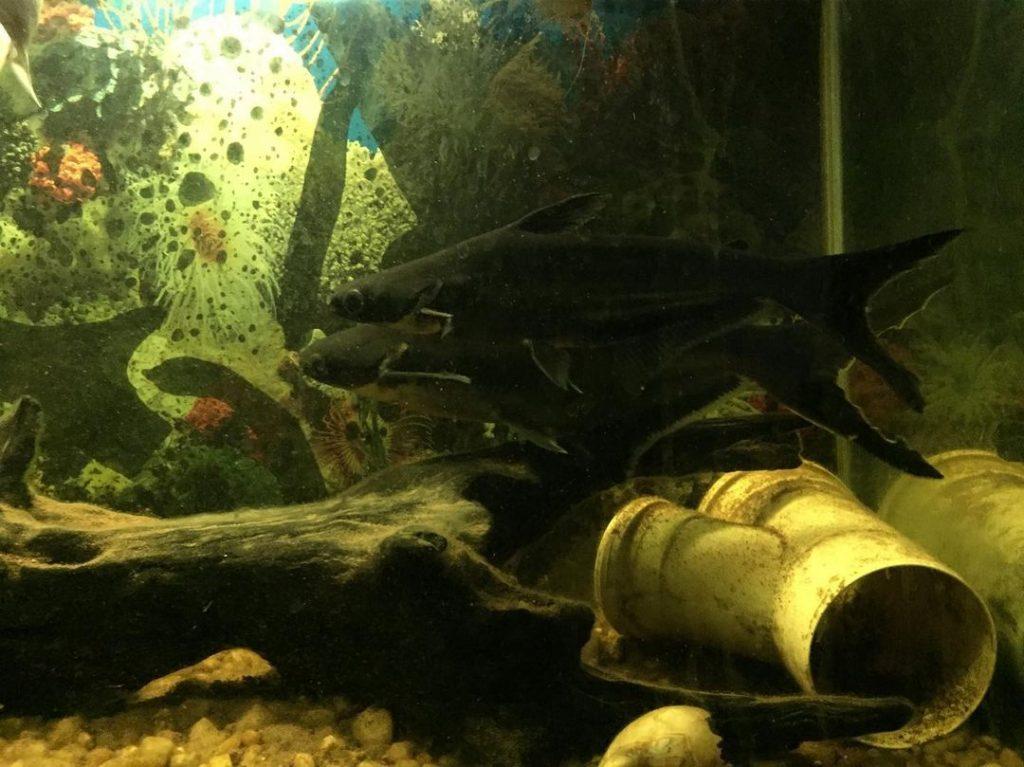 Ikan Patin Di Aquarium