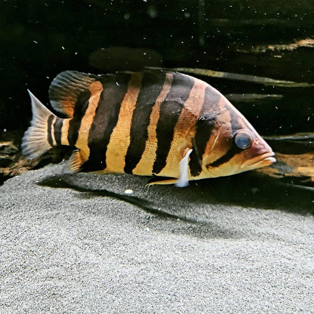 Ikan Ringau Datnioides Pulcher