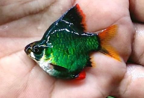 Ikan Sumatera Hijau