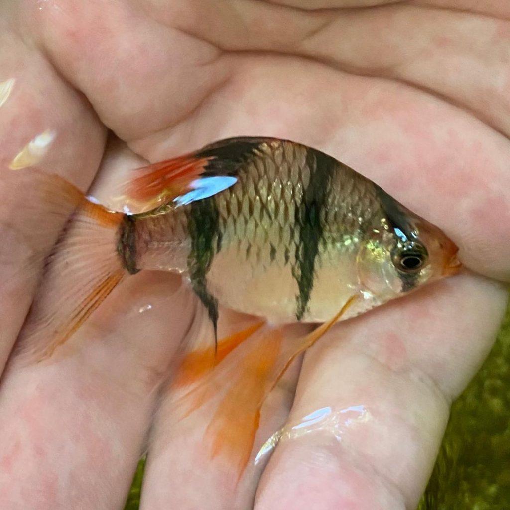 Ikan Sumatra Balon Slayer