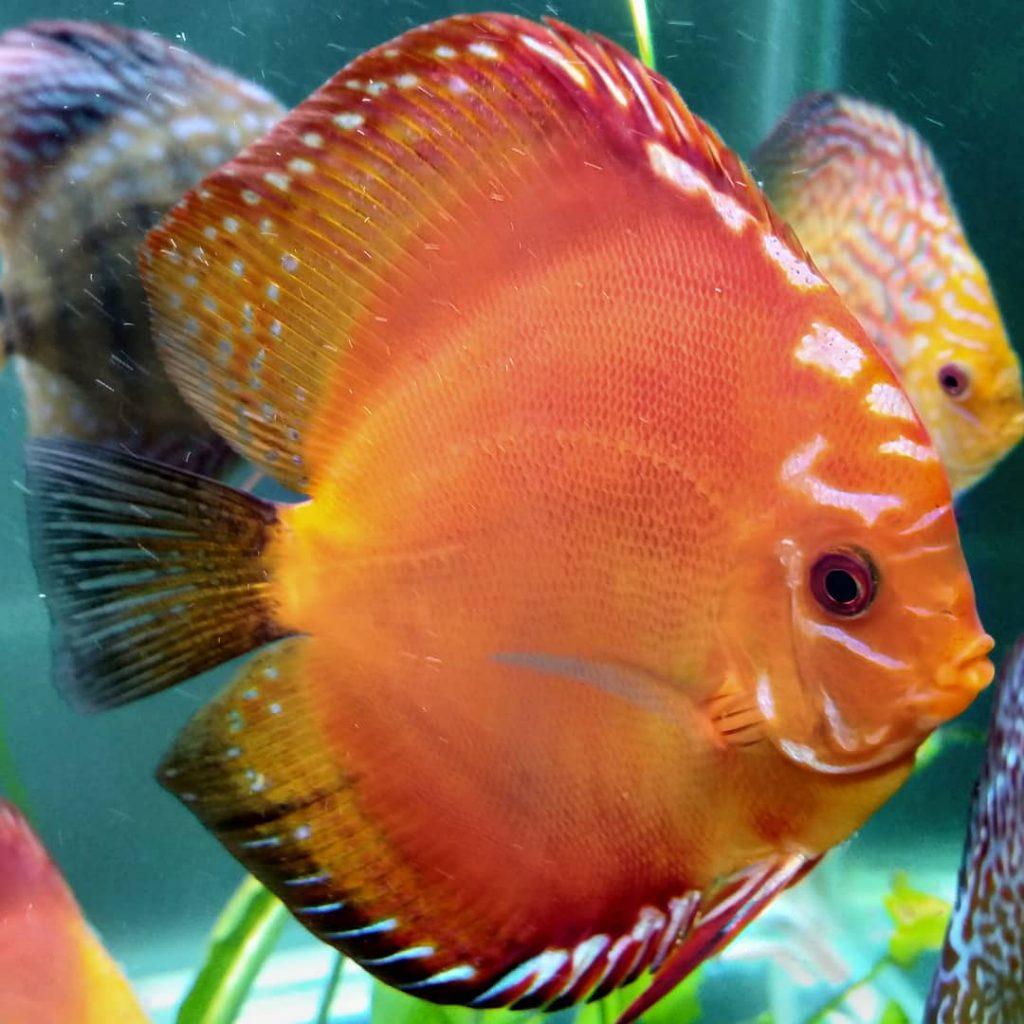 Ikan discus red marlboro