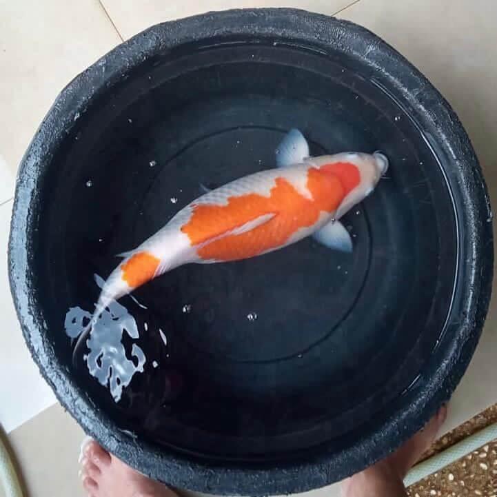 Ikan koi kohaku