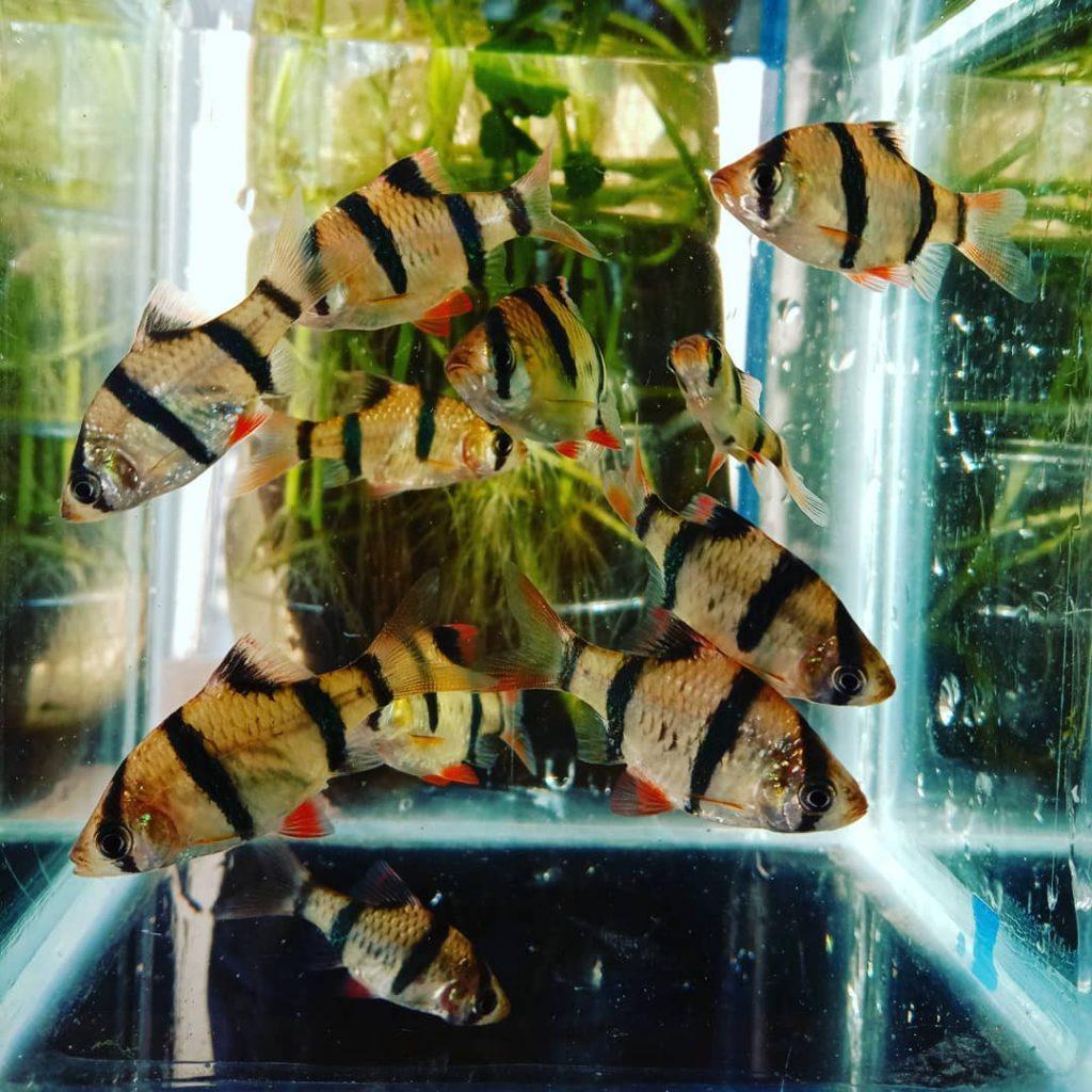 Ikan sumatera galak