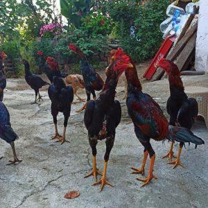 Kandang Umbaran Ayam Bangkok