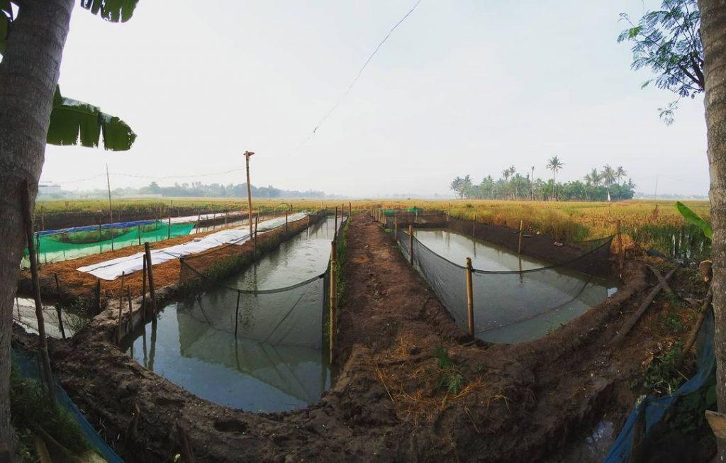 Kolam Tanah Ternak Lele