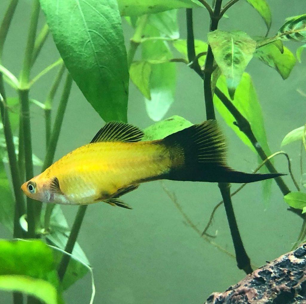 Yellow Swordtail