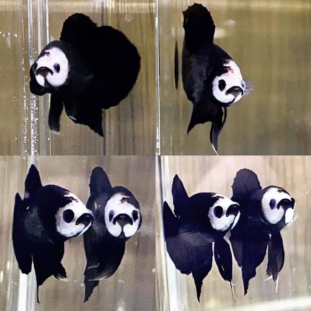 cupang panda