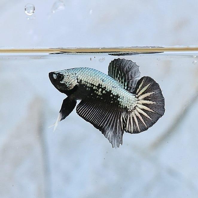 ikan cupang black dragon