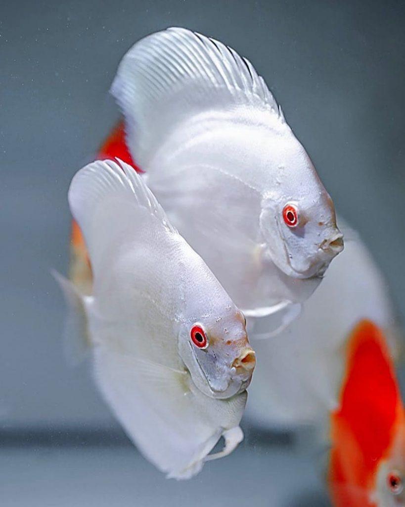 ikan discus Pearl Pigeon