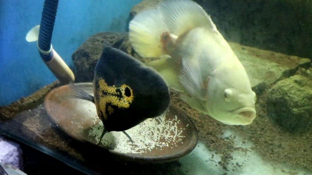 indukan ikan oscar
