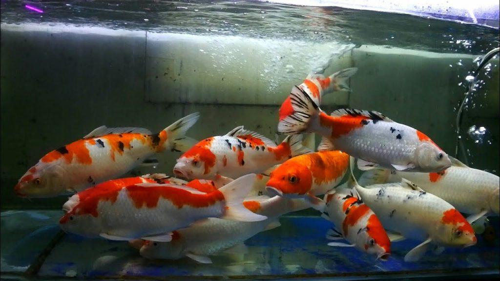 koi di aquarium