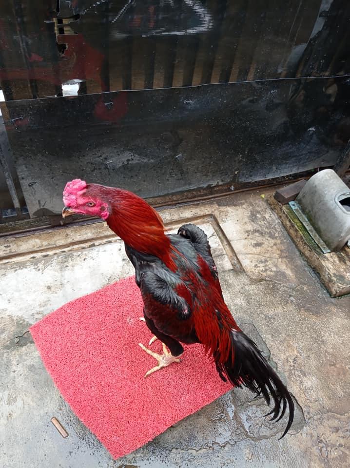 Ayam Pama IQ