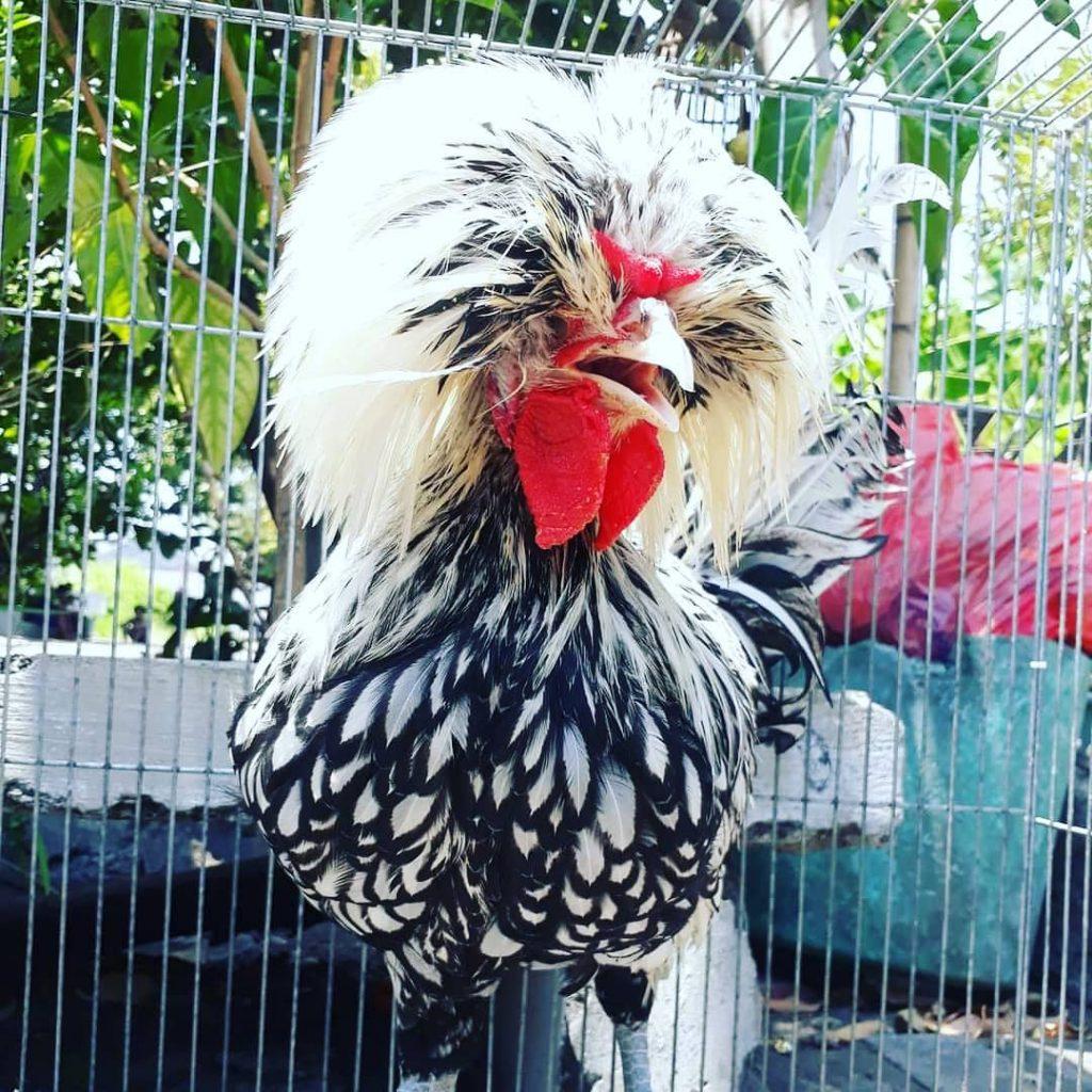 Ayam Poland Batik