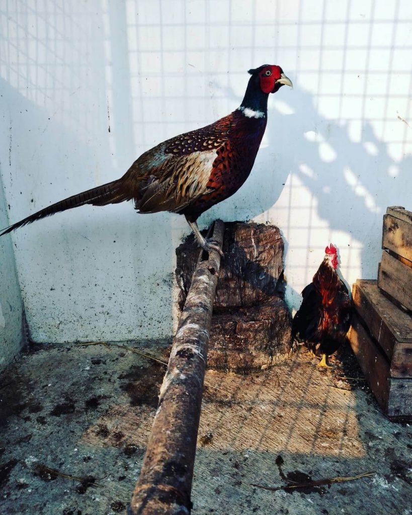Ayam Ringneck Pheasant
