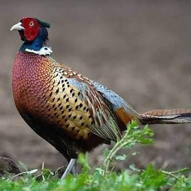 Ayam pheasant