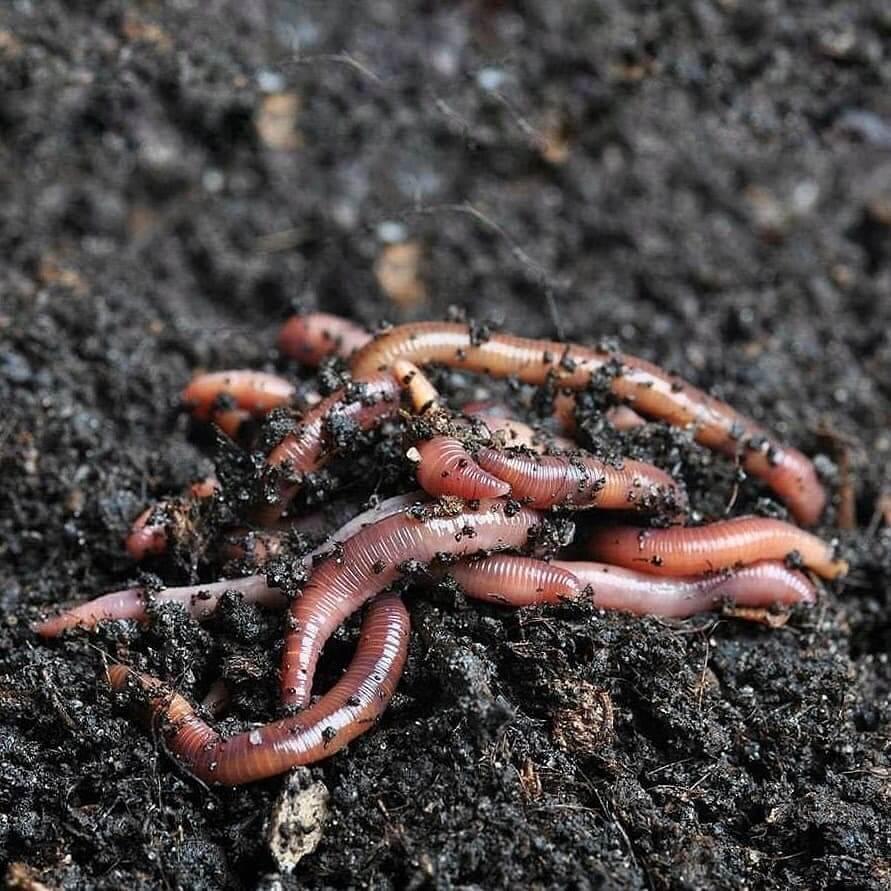 Cacing Tanah