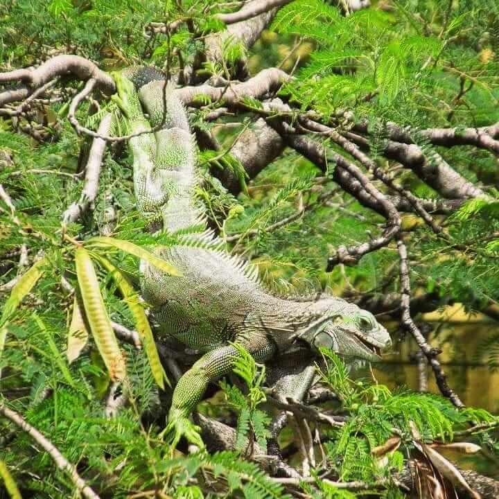 Habitat Iguana