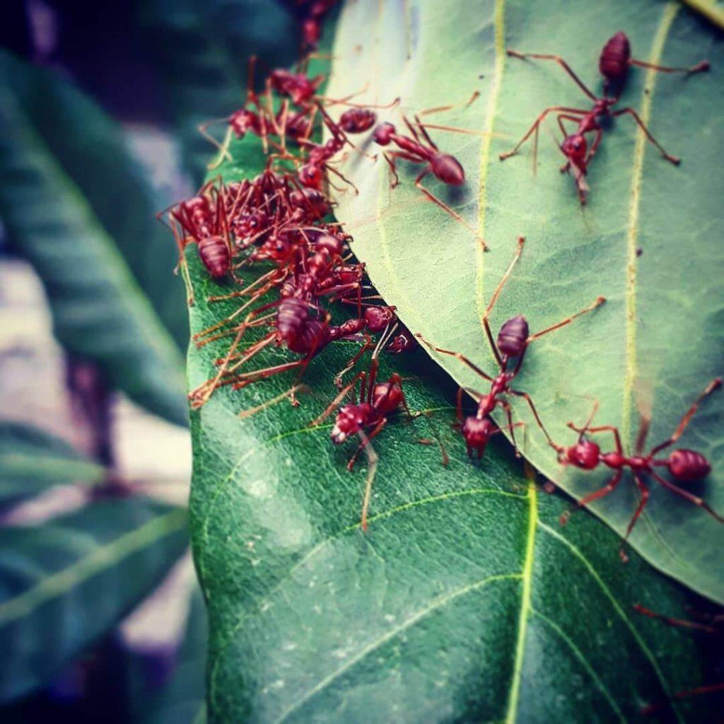 Habitat Semut Rangrang