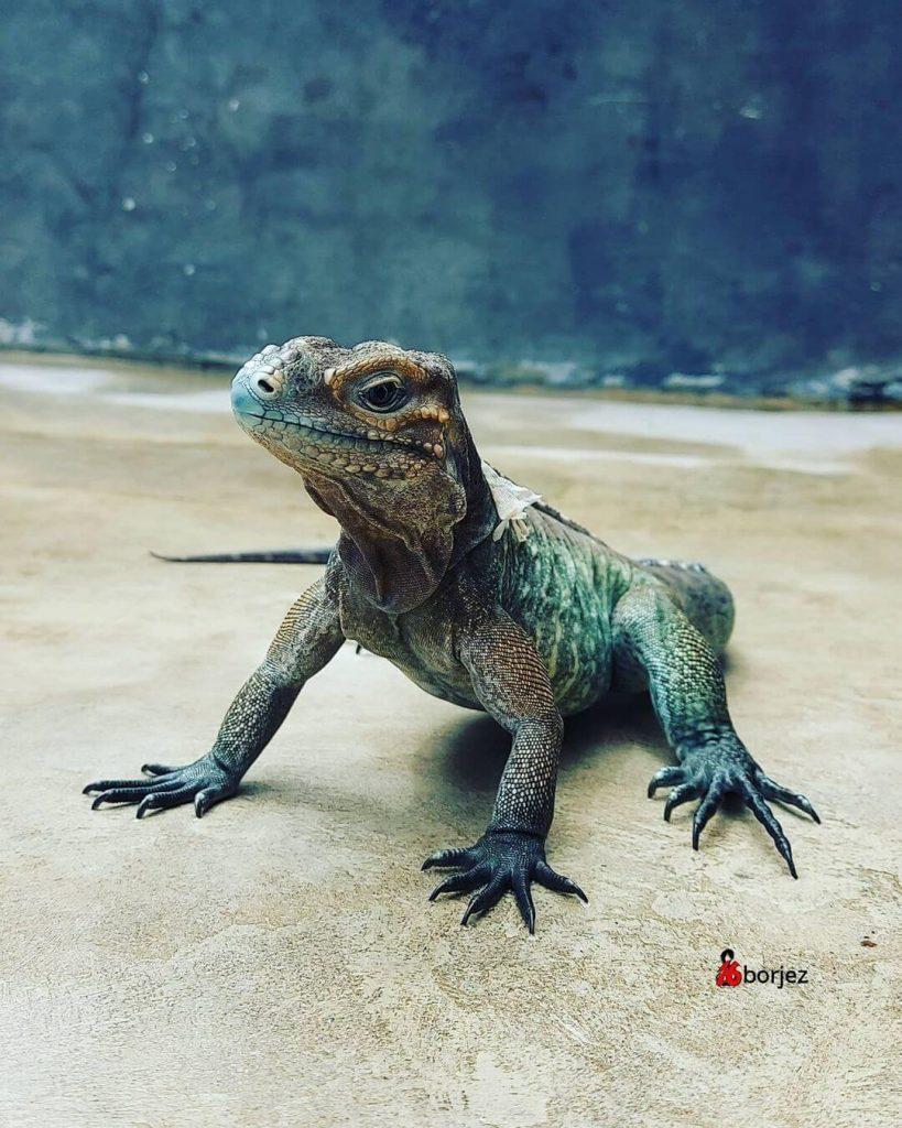 Iguana Badak