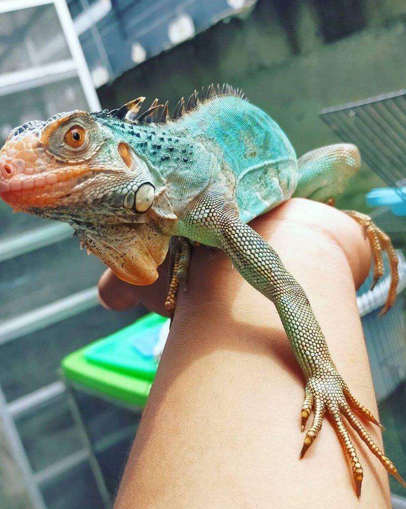 Iguana Biru (Blue)