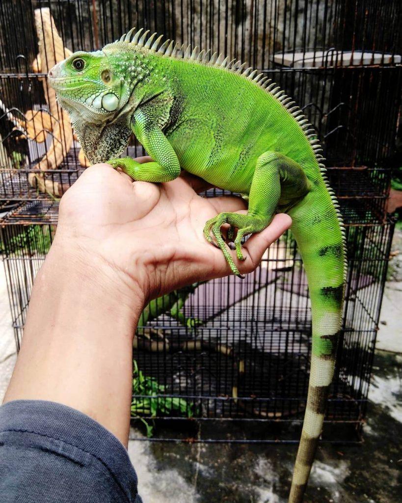 Iguana Columbia