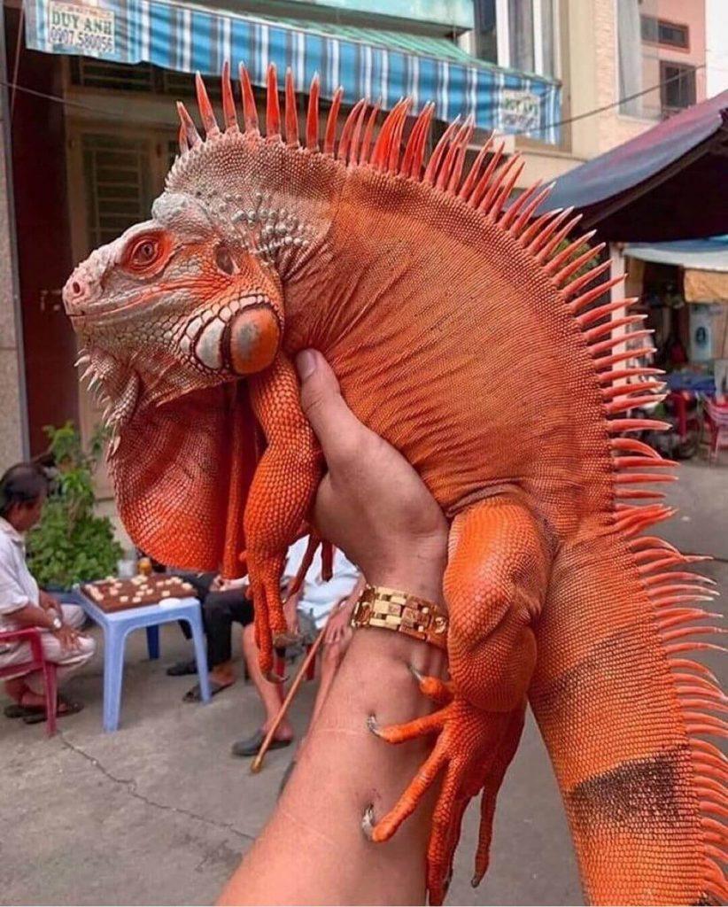 Iguana Super Red