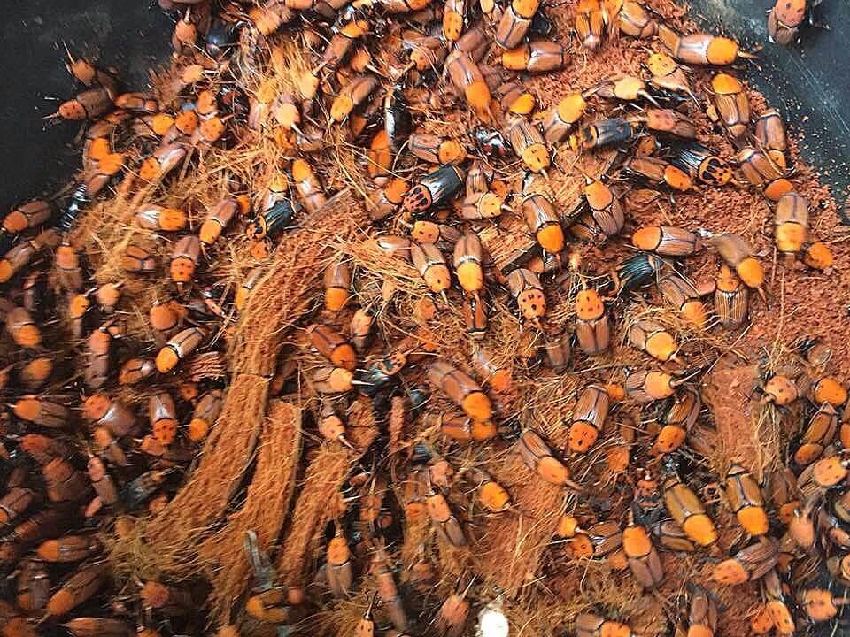 Indukan Kumbang Ulat Sagu