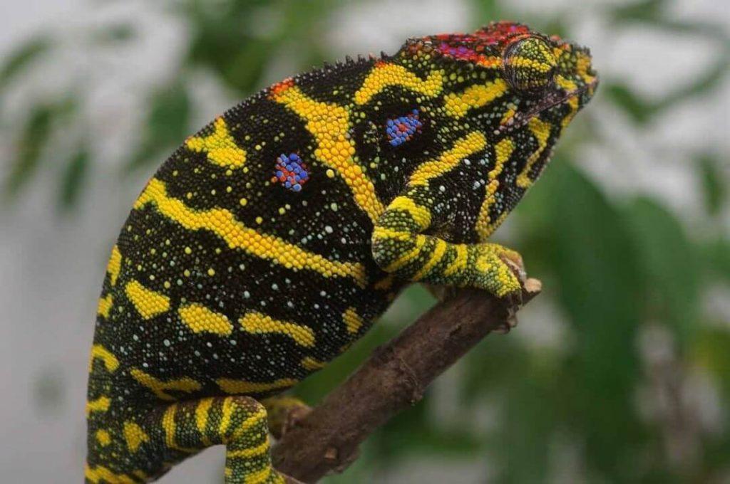 Lesser Chameleon