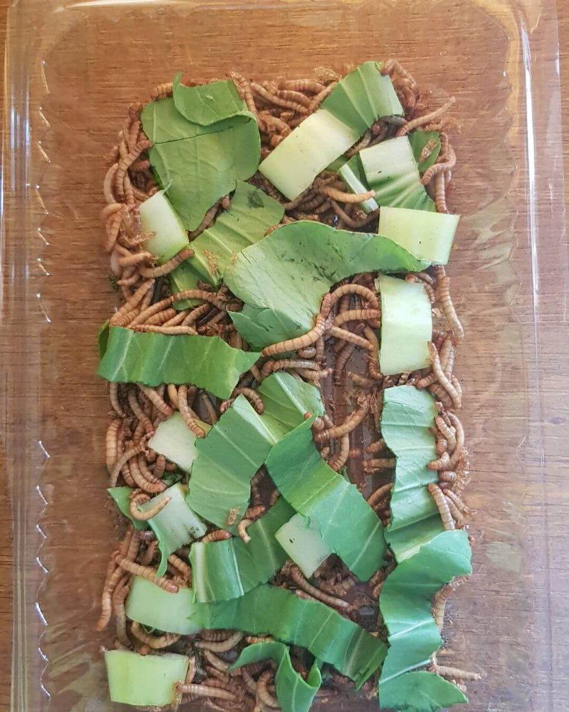 Pakan Makanan Ulat Hongkong