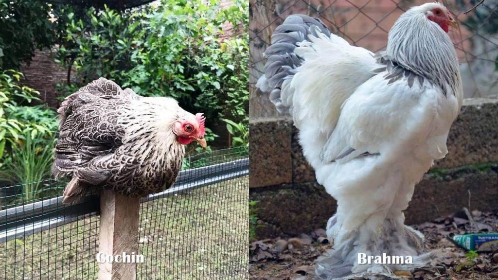 Perbedaan Ayam Cochin dan Brahma