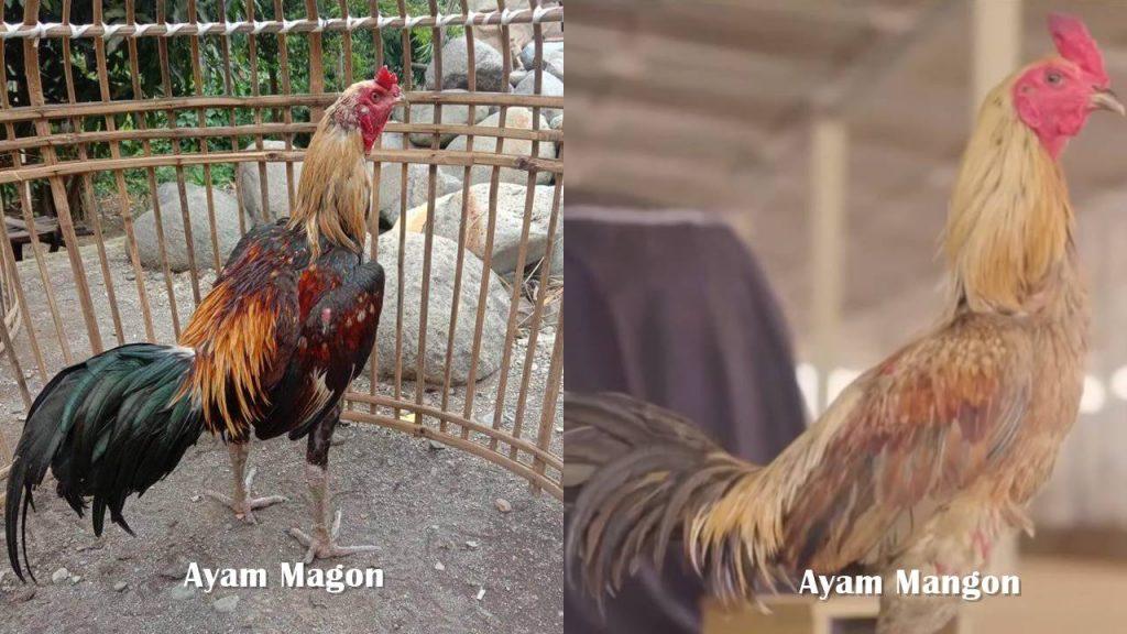 Perbedaan Ayam Mangon dan Magon