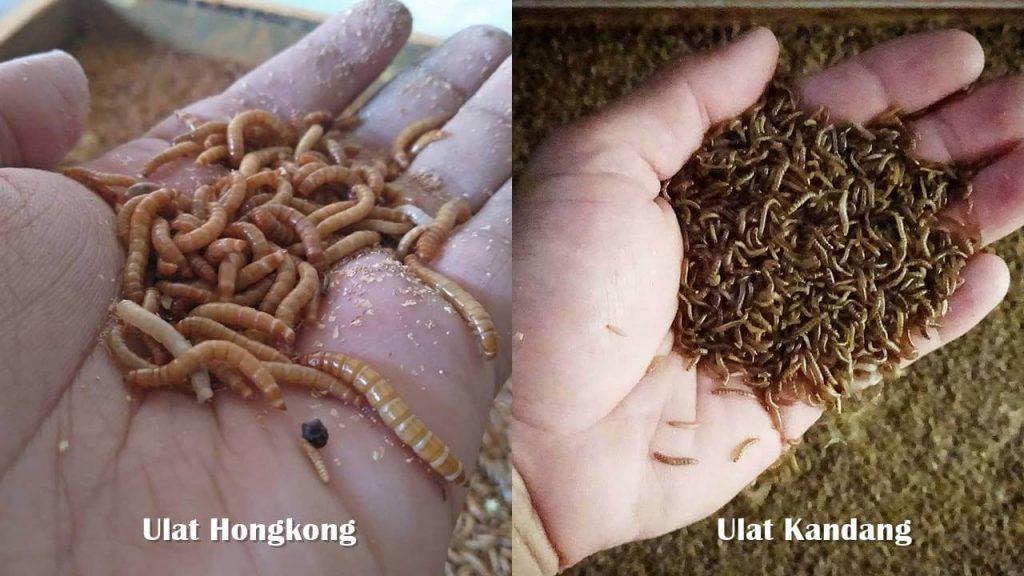 Perbedaan Ulat Kandang Dan Ulat Hongkong