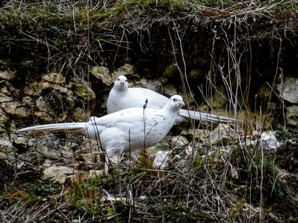 Pheasant Putih
