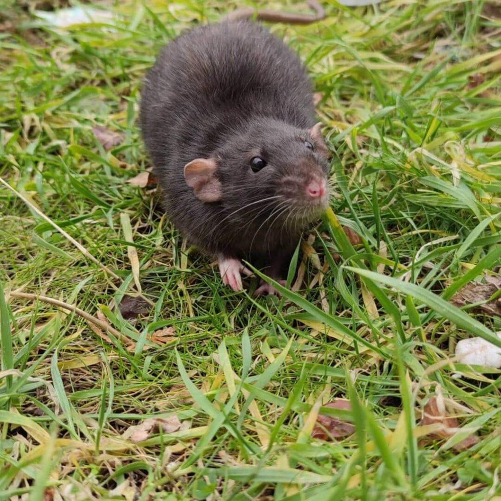 Tikus Tanah