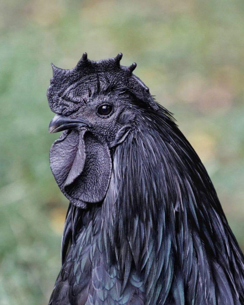 ayam cemani hitam